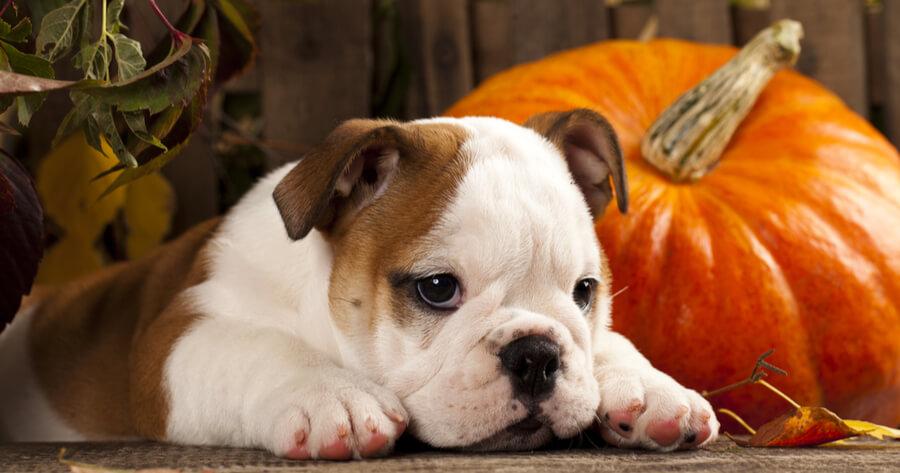 Gastroenteritis en perros calabaza