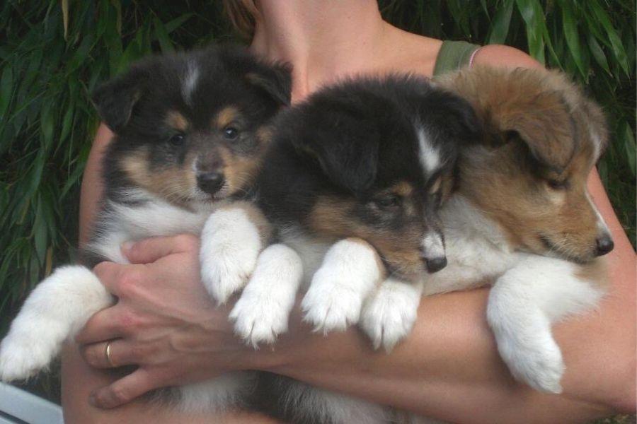 cachorros de shletie