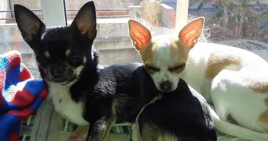 rita perra chihuahua barcelona con hermana