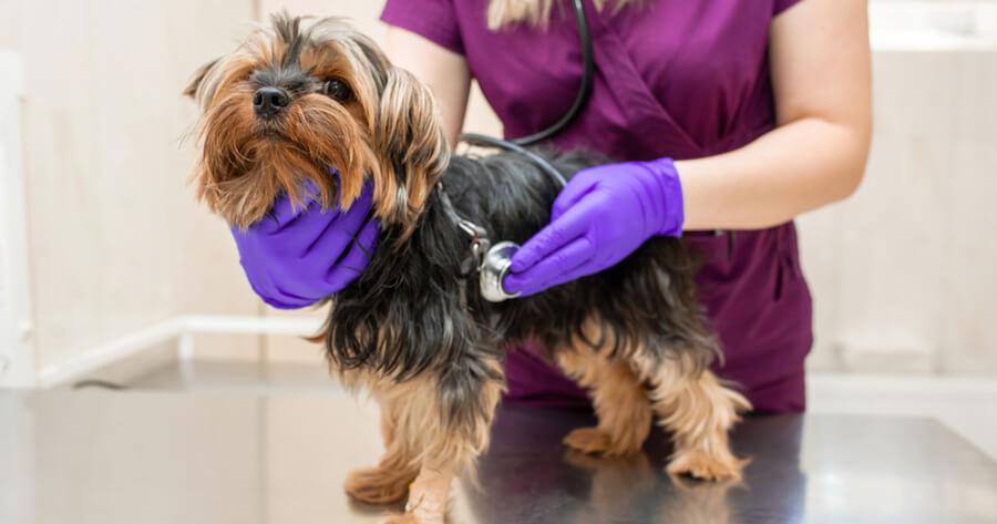 embarazo psicologico perras veterinario