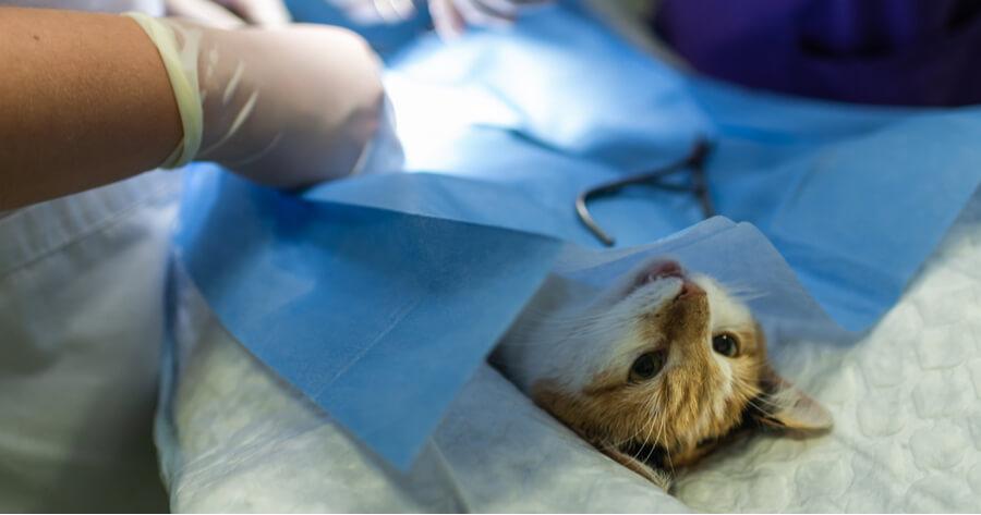 alimentar gato tras cirugia