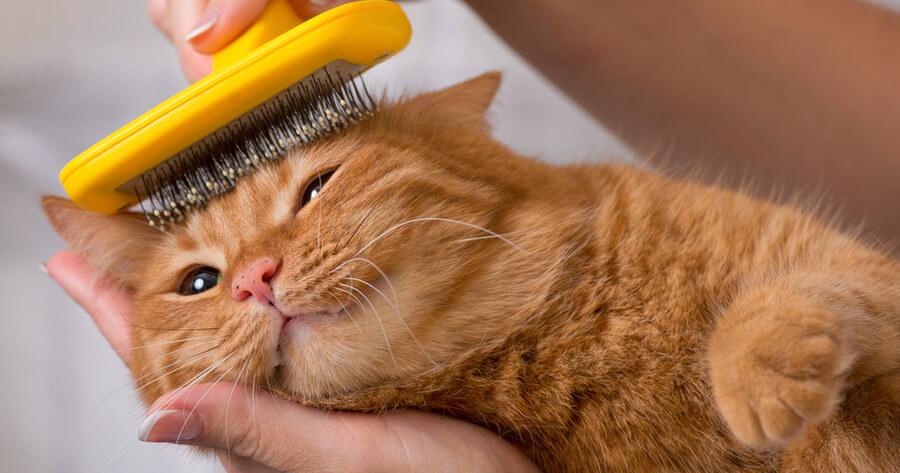 gato echado mientras le cepillan el pelo