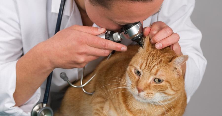gato pelirrojo veterinario