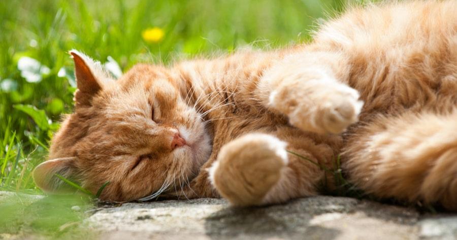 gato mayor dormido