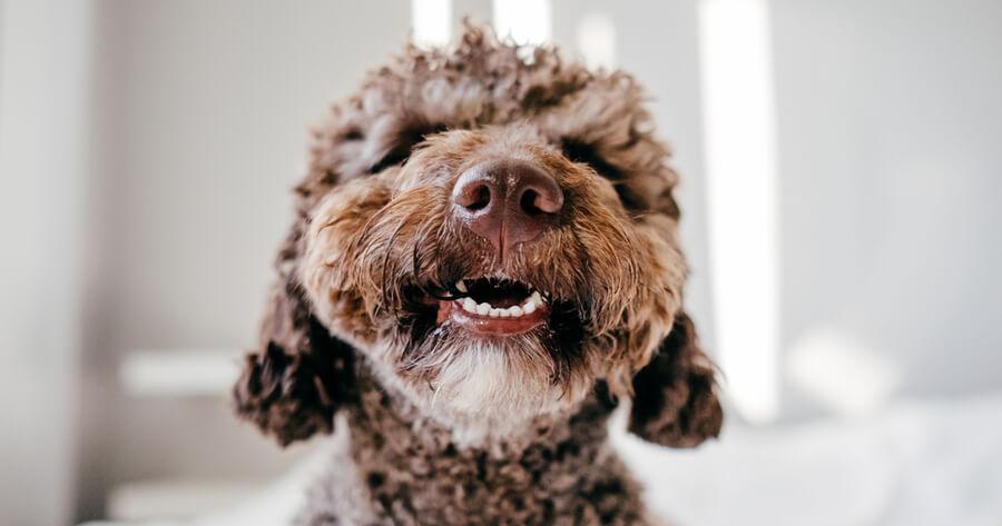 perro de agua sonrisa