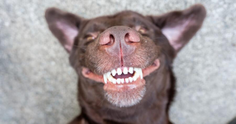 perro ensenando los dientes