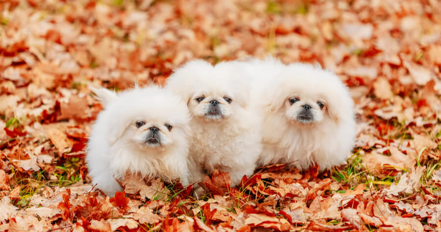 camada de perros pekineses