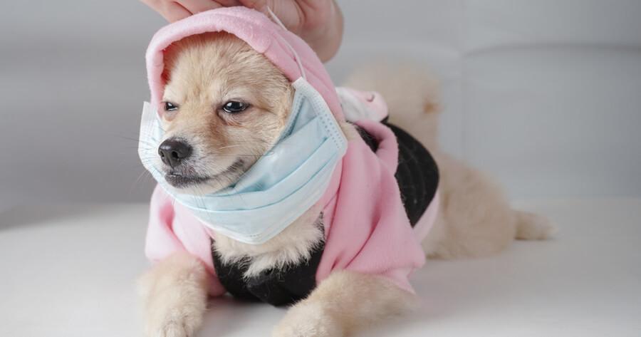 pomeranian resfriado veterinario