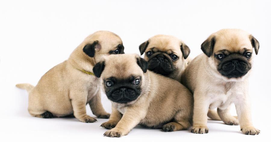 camada de cachorros pug
