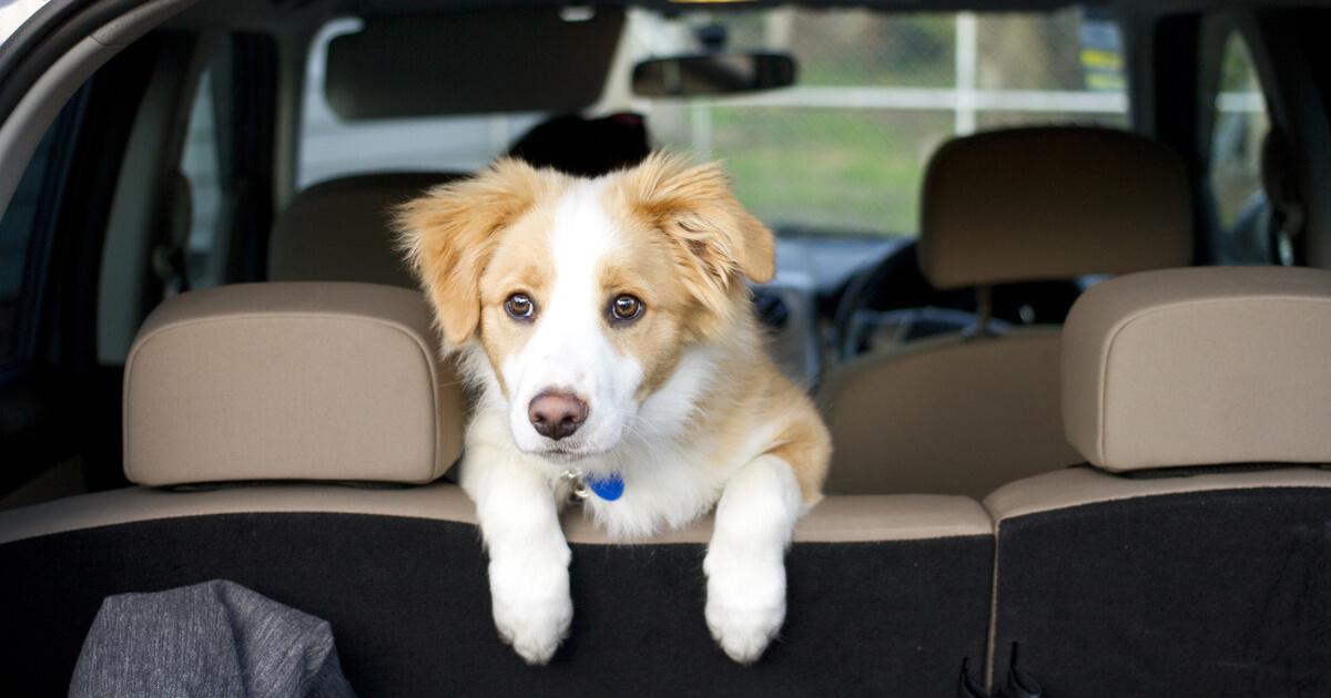 cachorro nervioso en el coche
