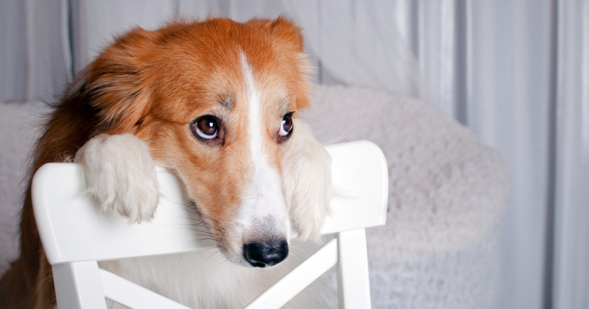 perro cara tristeza