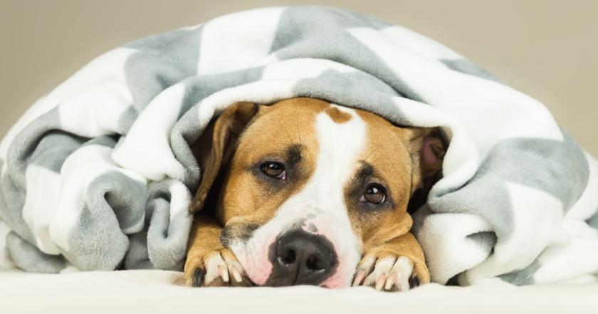 perrito con manta