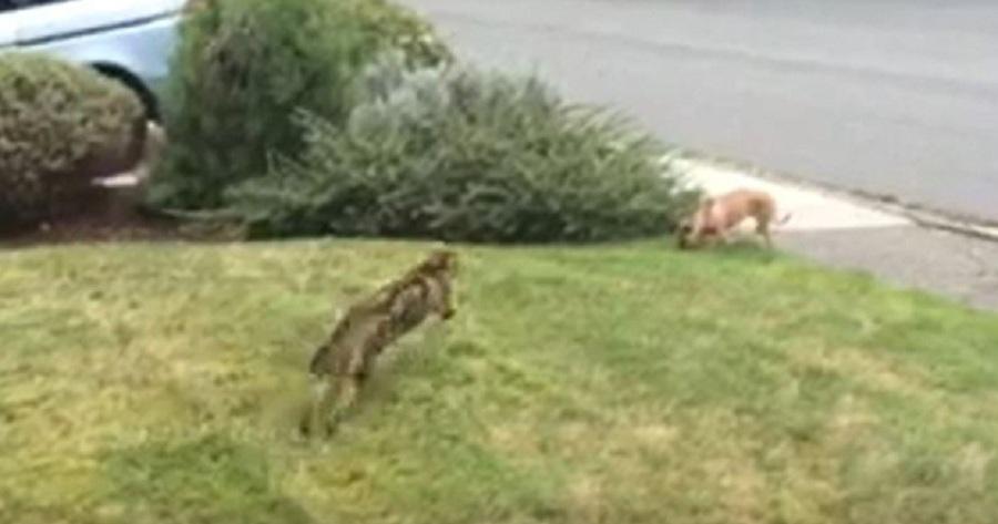Miska gato salta sobre perro