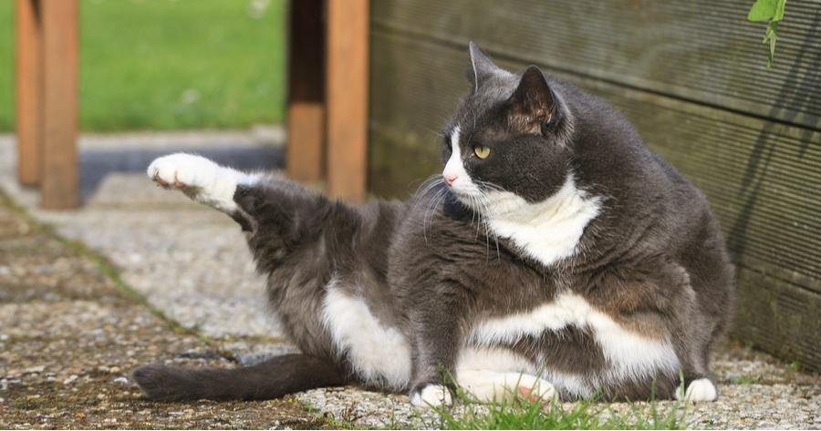 gato gordo confunden puma
