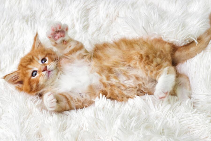gato maine coon amor