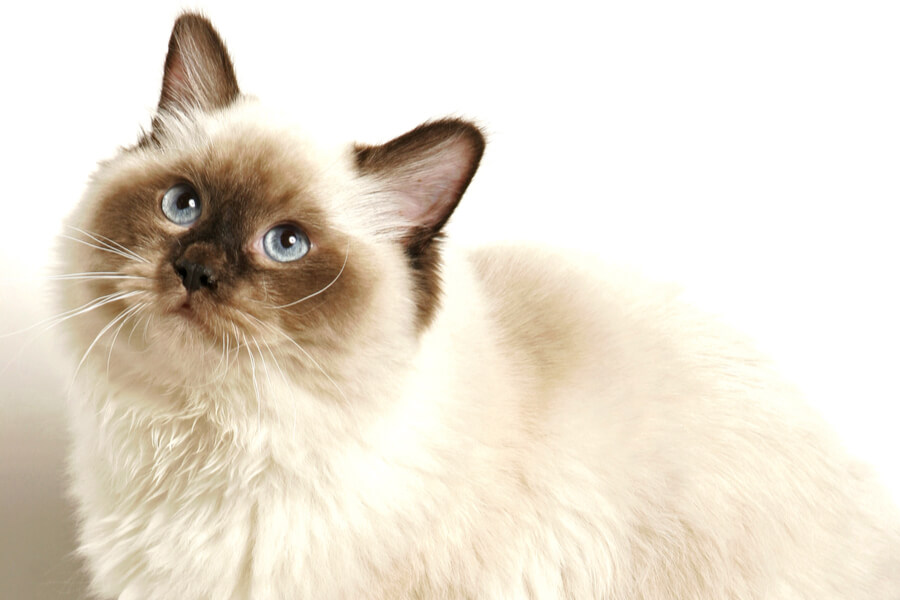 gato birmano amor