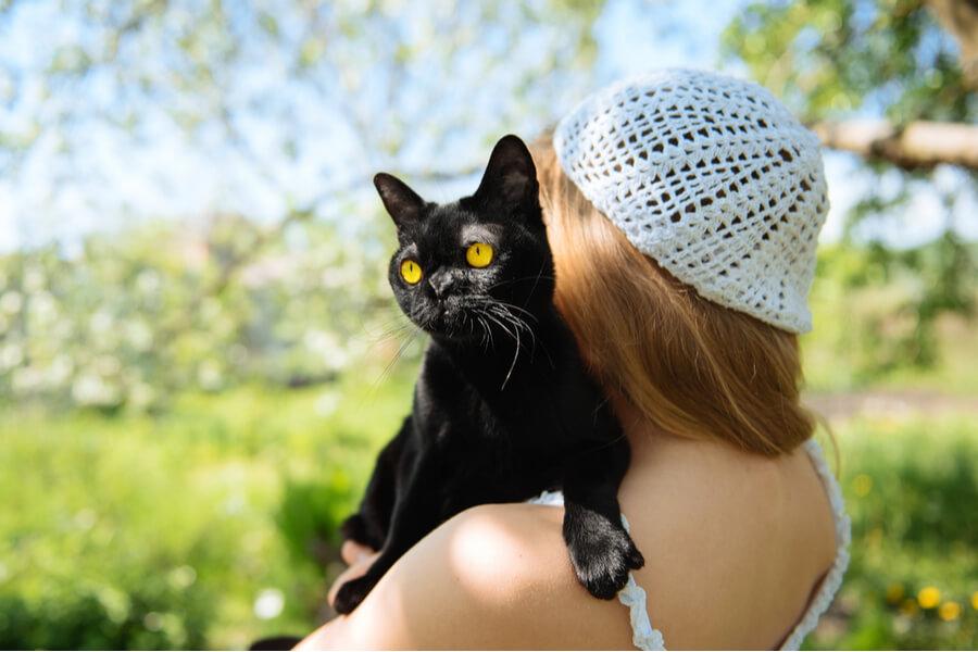 gato bombay tierno cariñoso amor