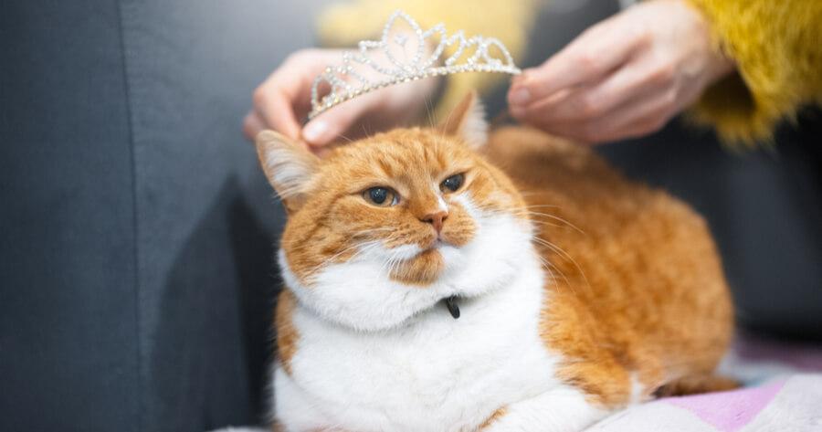 gato macho principe