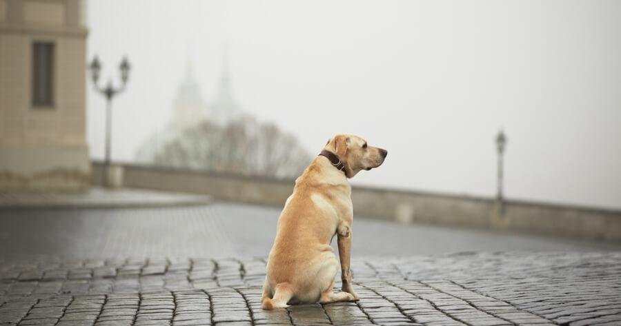 labrador perro perdido