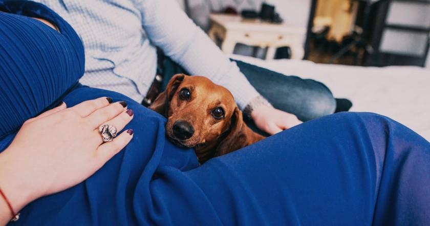 perro teckel en barriga mujer
