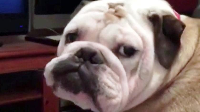 la cara de Khaleesi perro
