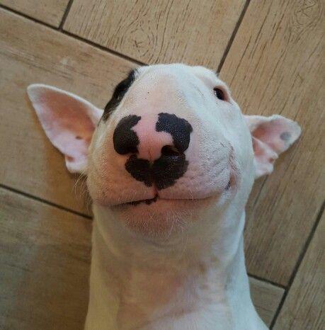 bull terrier sonriendo
