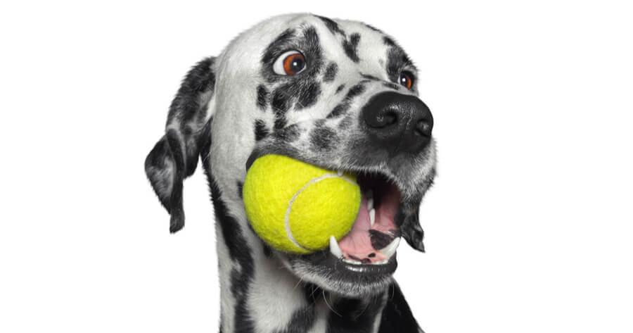 dalmata pelota en la boca