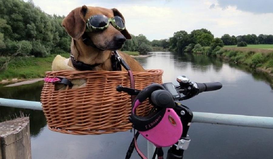 dia mundial bicicleta perro salchicha canasta