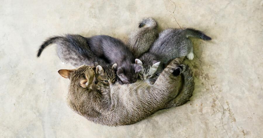 gata amamantando bebes