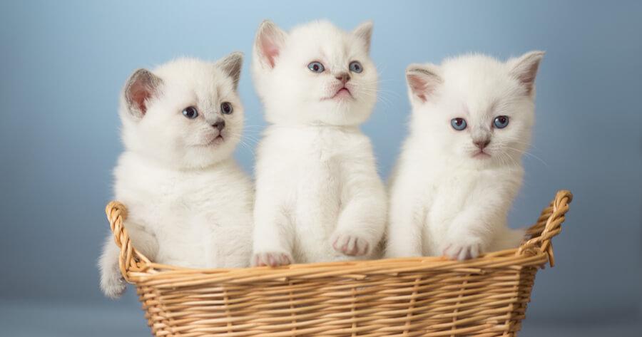 gatitos blancos dentro de una cesta