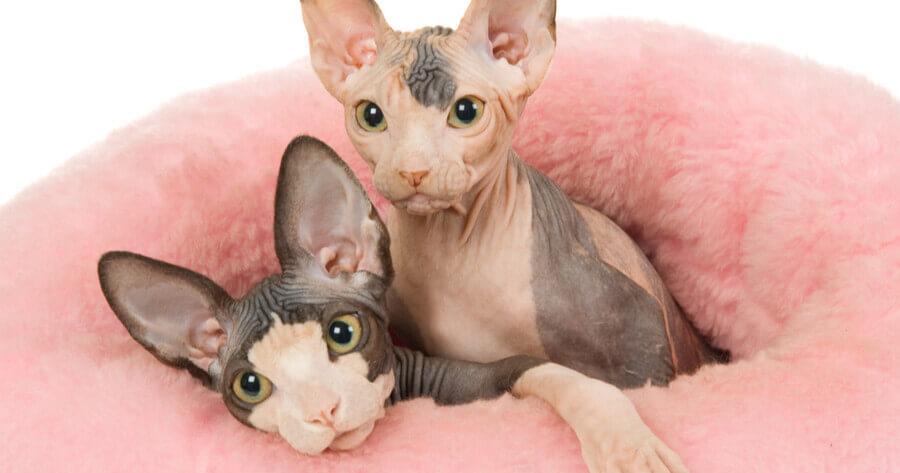 gatos esfinges bebes
