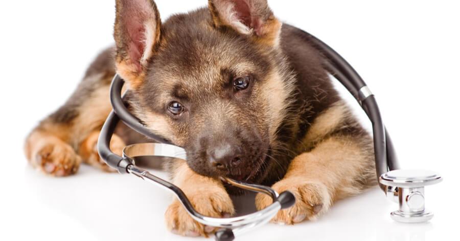 pastor aleman veterinario