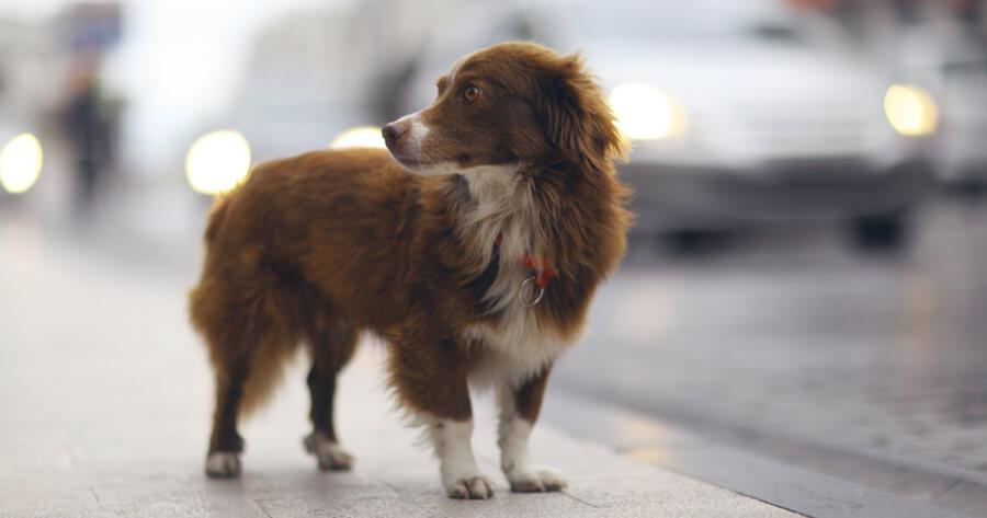 perro pelirrojo perdido en la calle
