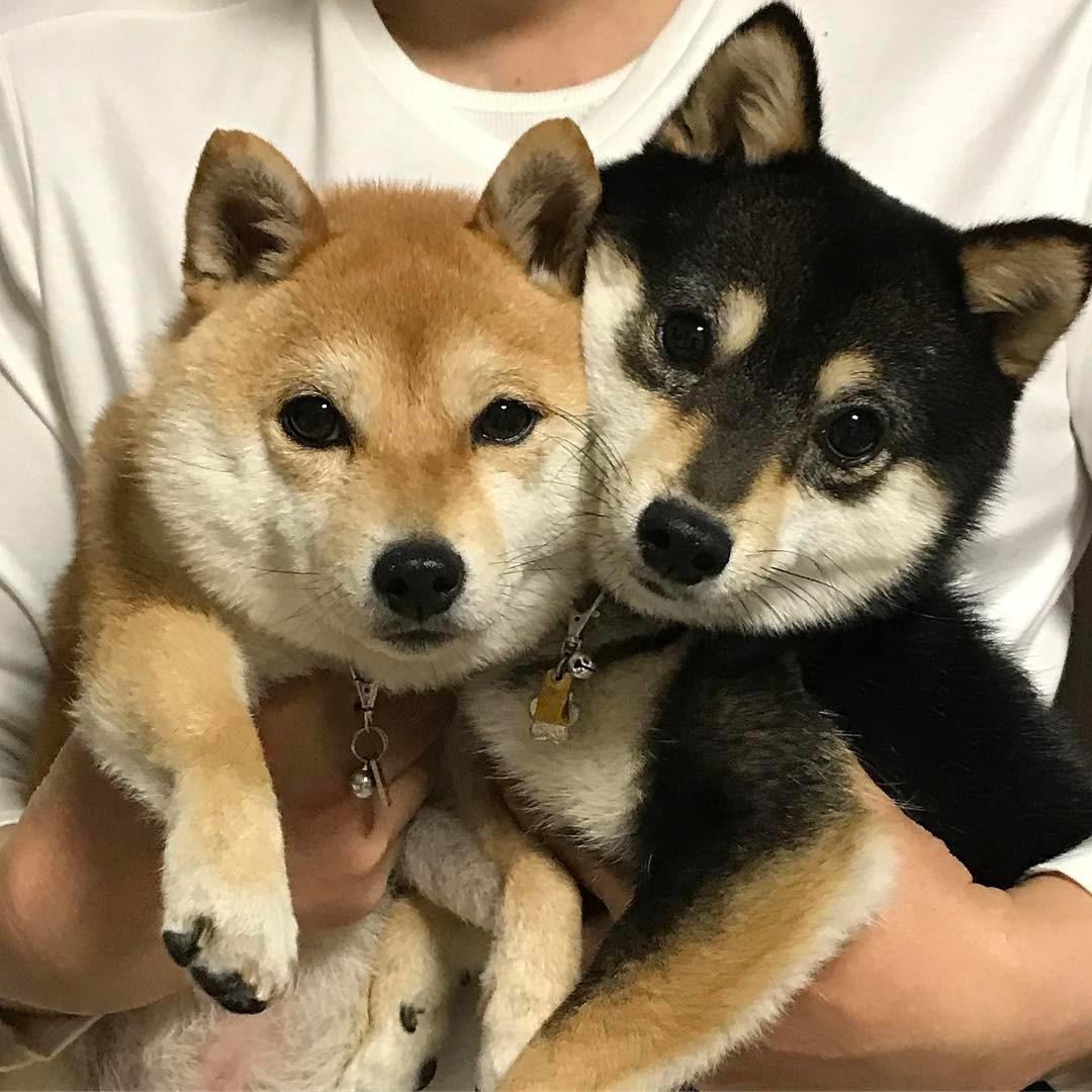 cachorros de shiba