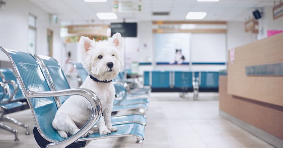 westy blanco veterinario