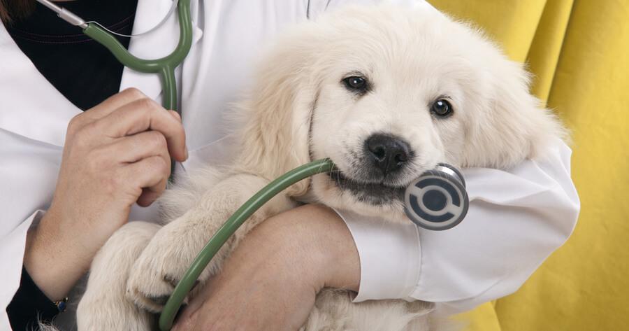 cachorro veterinario