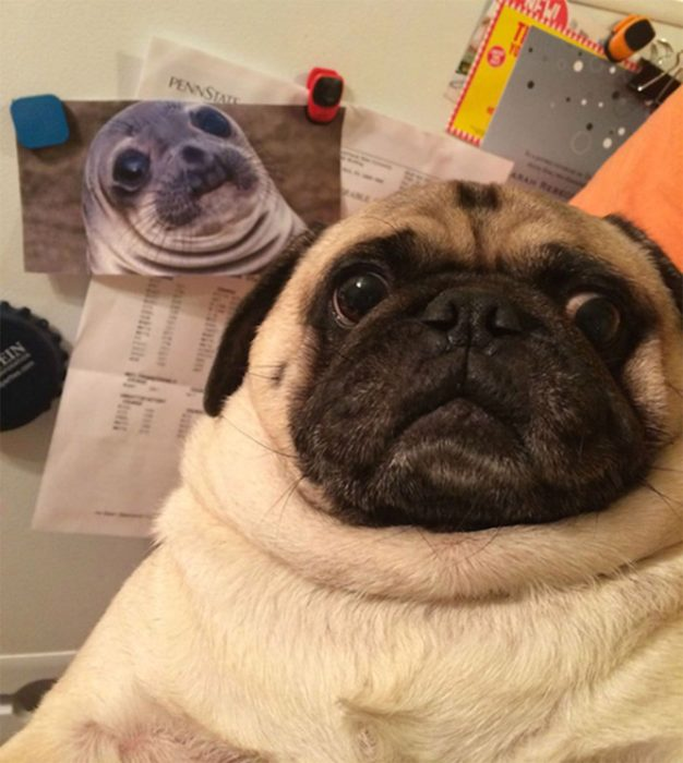 pitbull foca