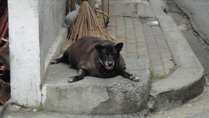 perro foca gordo