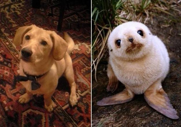 perro cara de foca