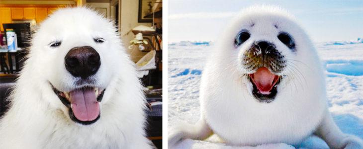samoyedo foca nieve