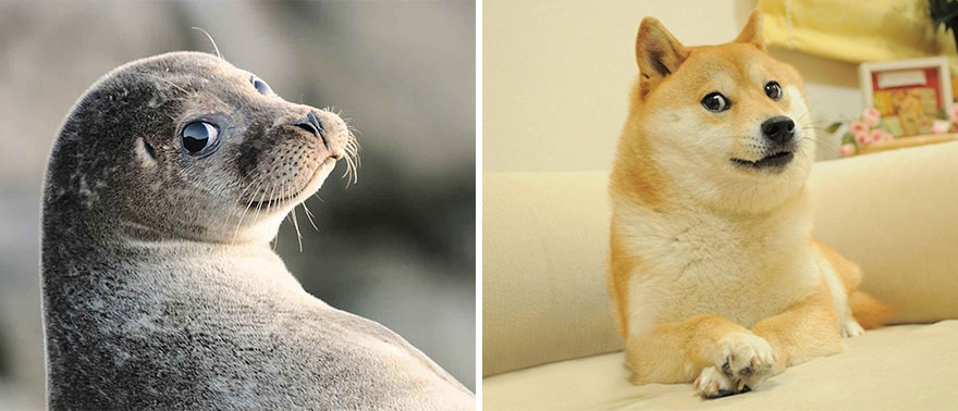 perro shiba foca