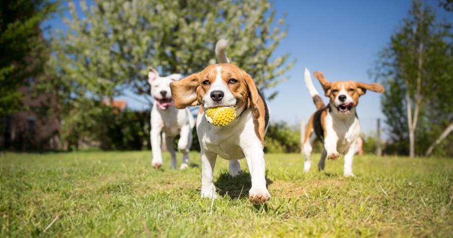 desconfinamiento criadero perros beagles