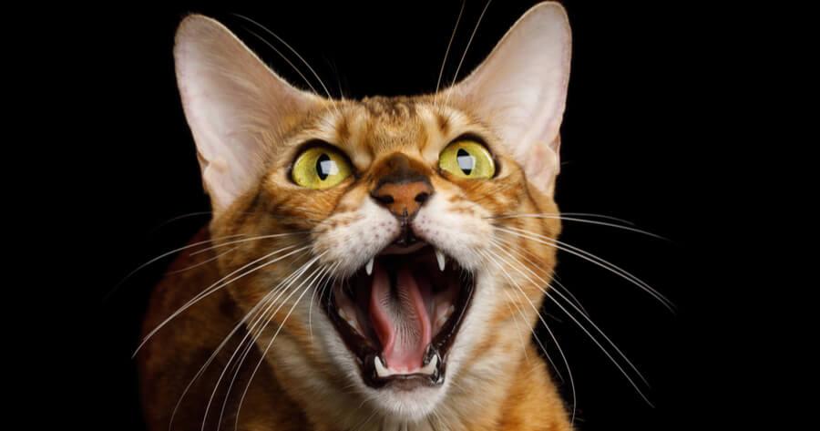 gato bengala salvaje