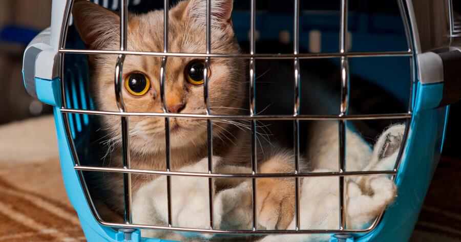 gato transportin