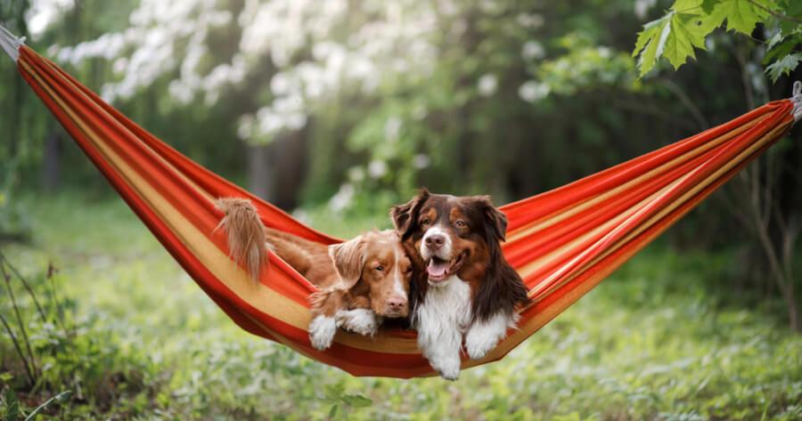 perra en celo con perro
