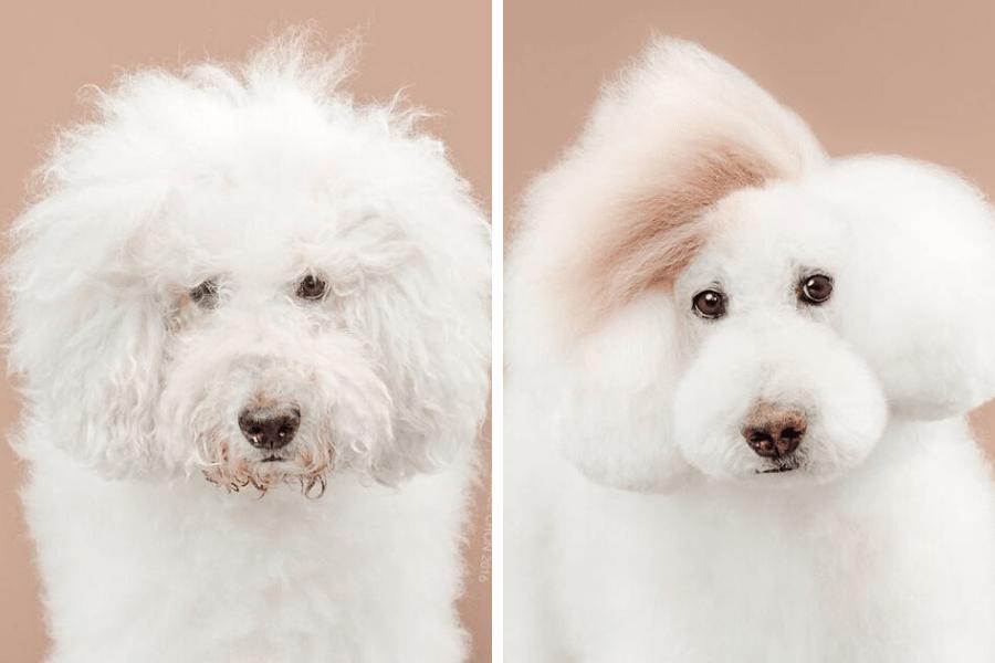 perro blanco antes y despues peluqueria
