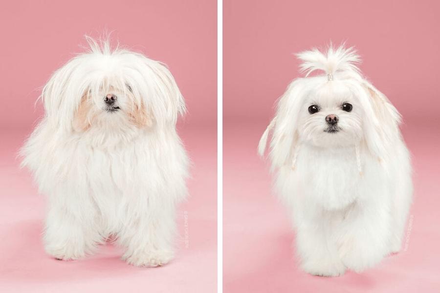 perro con coleta antes y despues peluqueria