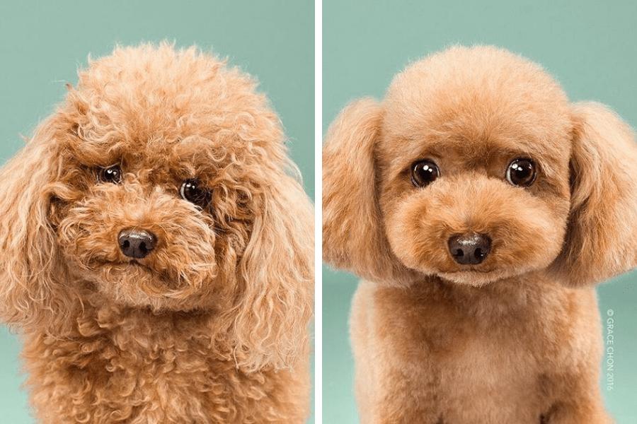 perro marron antes y despues peluqueria