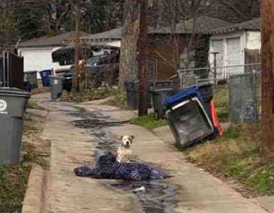 pitbull calle abandonado