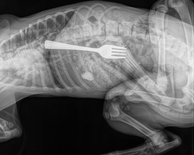 radiografia perro golden tenedor